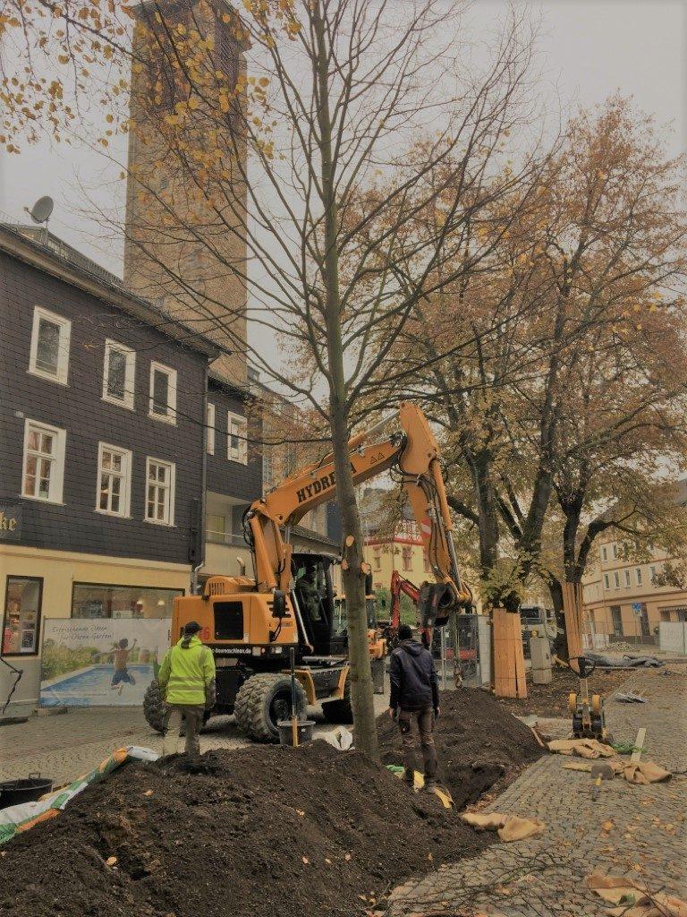 Die 30 Jahre Alte Linde hat ihren Platz am Rande des Wilhelmsplatzes gefunden.