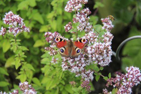Schmetterling-auf-Oregano-Foto-Michaela-Lemke