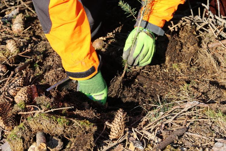 Behandschuhte Hände pflanzen einen Baum