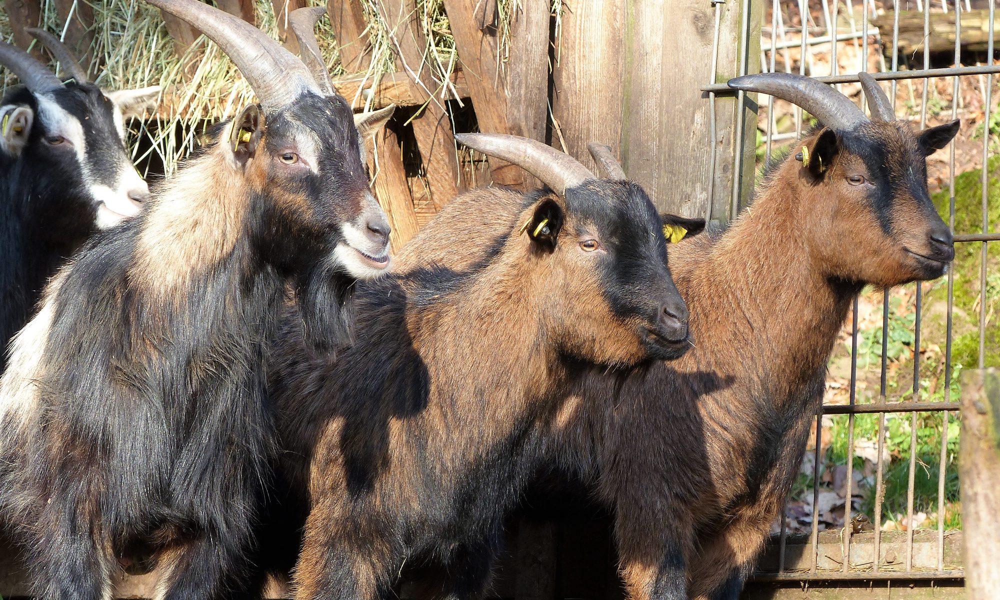 Vier neugierige Zwergziegen halten Ausschau nach Besuchern.